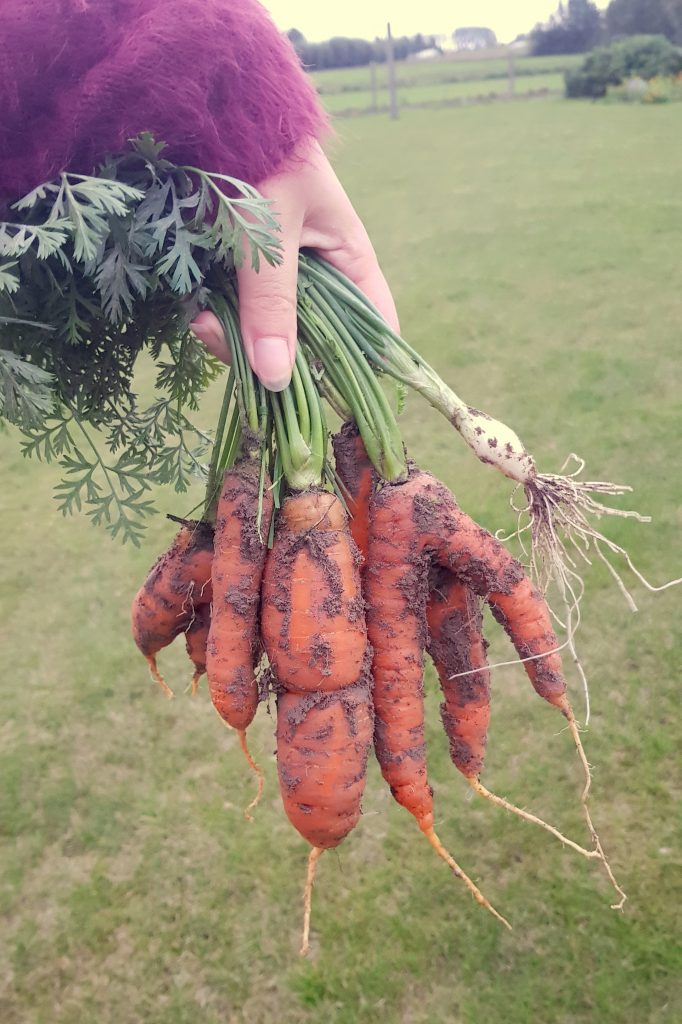 Non-stop Noor: Homegrown carrots from our own garden